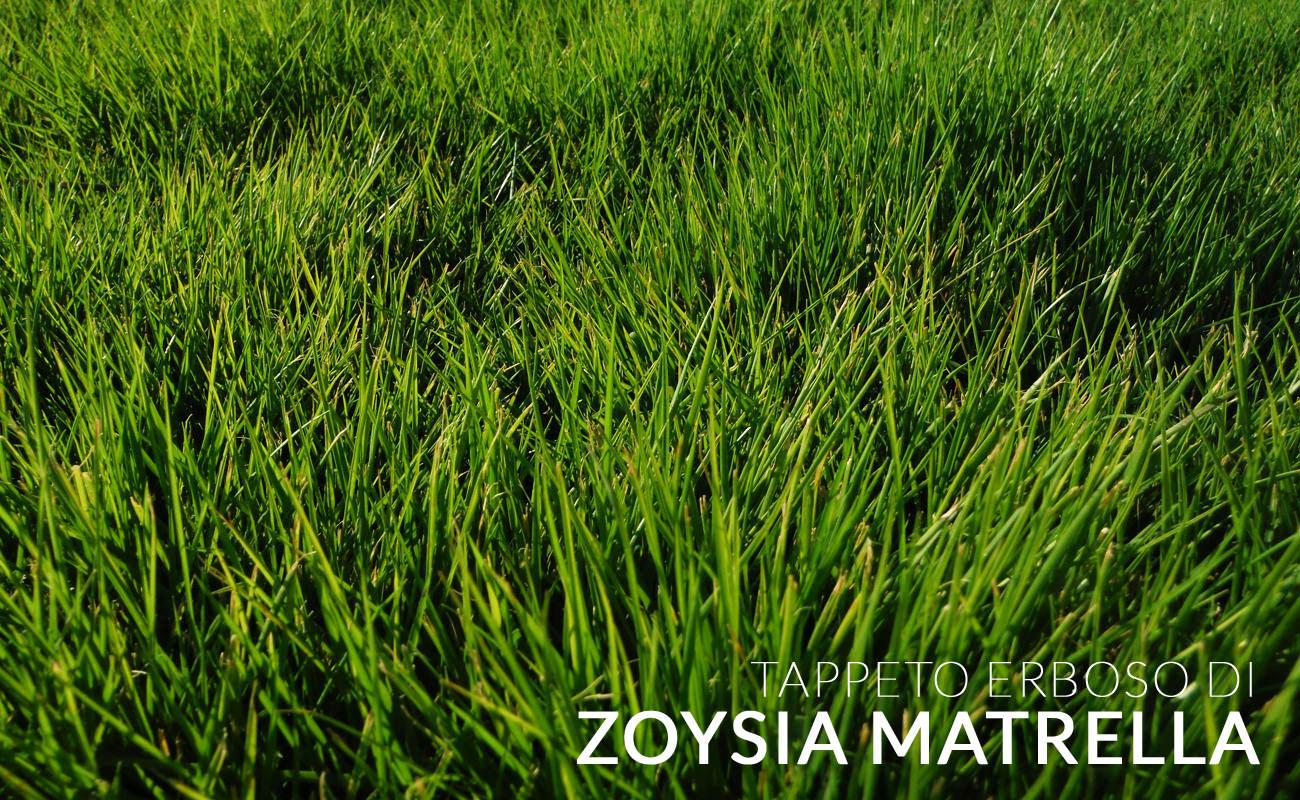 Zoysia_Matrella_mini