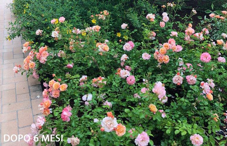 rosa-cubana-aiuola